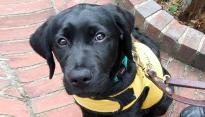 Guide Dog puppy